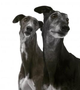 Barbara Karant Greyhound Photo